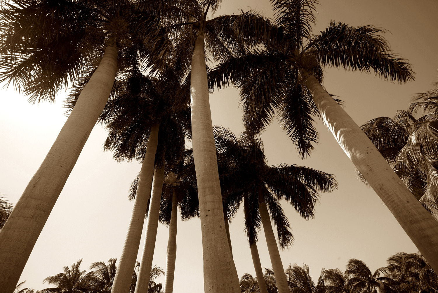palm trees posters by alain dewint buy posters frames canvas