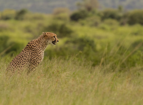Cheetah Seeking