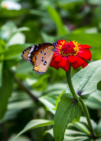 Butterfly on the Flower by Hassan Najmy