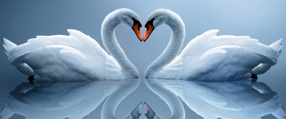 Swan Love by Sina Irani | Buy Posters, Frames, Canvas  & Digital Art Prints