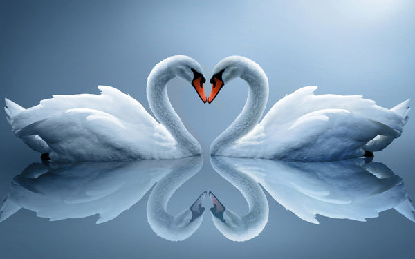 Photograph of Swan Love by Sina Irani