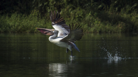 Pelican Take Off - Canvas Prints