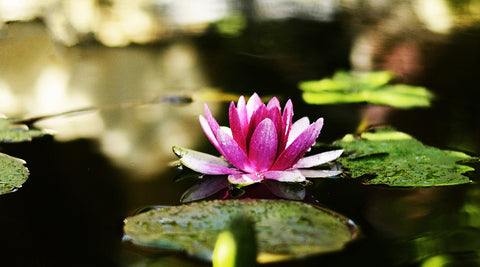 Water Lily by Christopher Noel