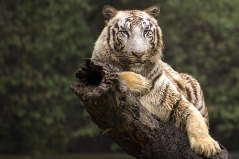 White Tiger Enjoying Rain - Life Size Posters