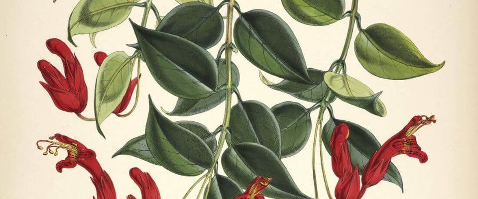 Aeschynanthus Bracteatus -  Walter Hood Fitch- Vintage Botanical Illustration Art Print 1855 by Stella | Buy Posters, Frames, Canvas  & Digital Art Prints