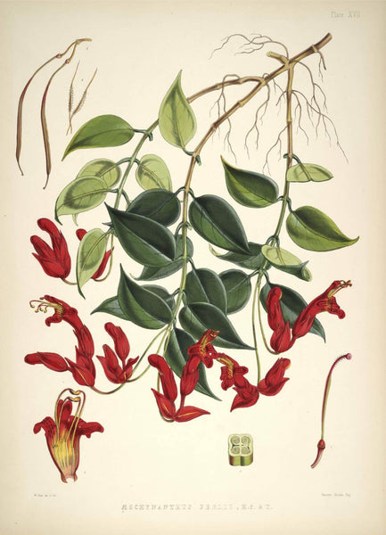 Aeschynanthus Bracteatus -  Walter Hood Fitch- Vintage Botanical Illustration Art Print 1855 - Posters
