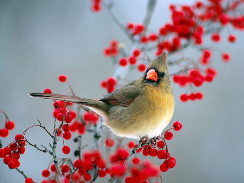 Beautiful Bird with Red Berries - Canvas Prints
