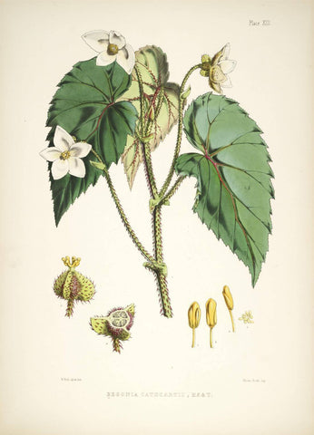 Begonia Cathcarti - Vintage Himalayan Botanical Illustration Art Print - 1855 - Posters by Stella