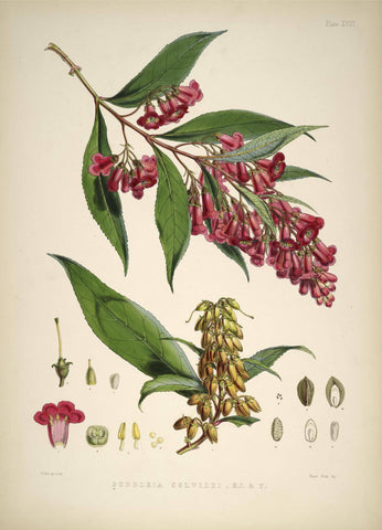 Buddleia Colvilei - Vintage Himalayan Botanical Illustration Art Print - 1855 - Posters by Stella