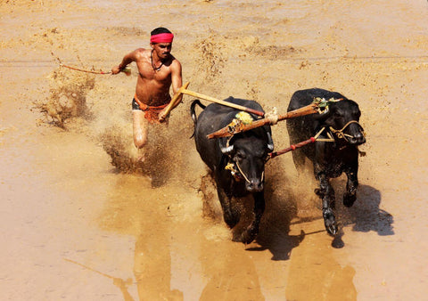 Kambala - Annual Buffalo Race In Karnataka - India