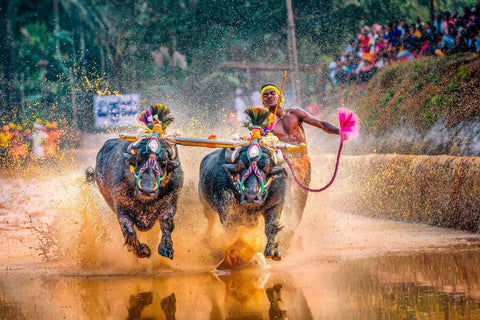 Kambala - The Annual Buffalo Race In Mangaluru - India Photo Art