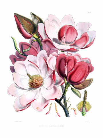 Magnolia campbellii flowers by Michael Pierre