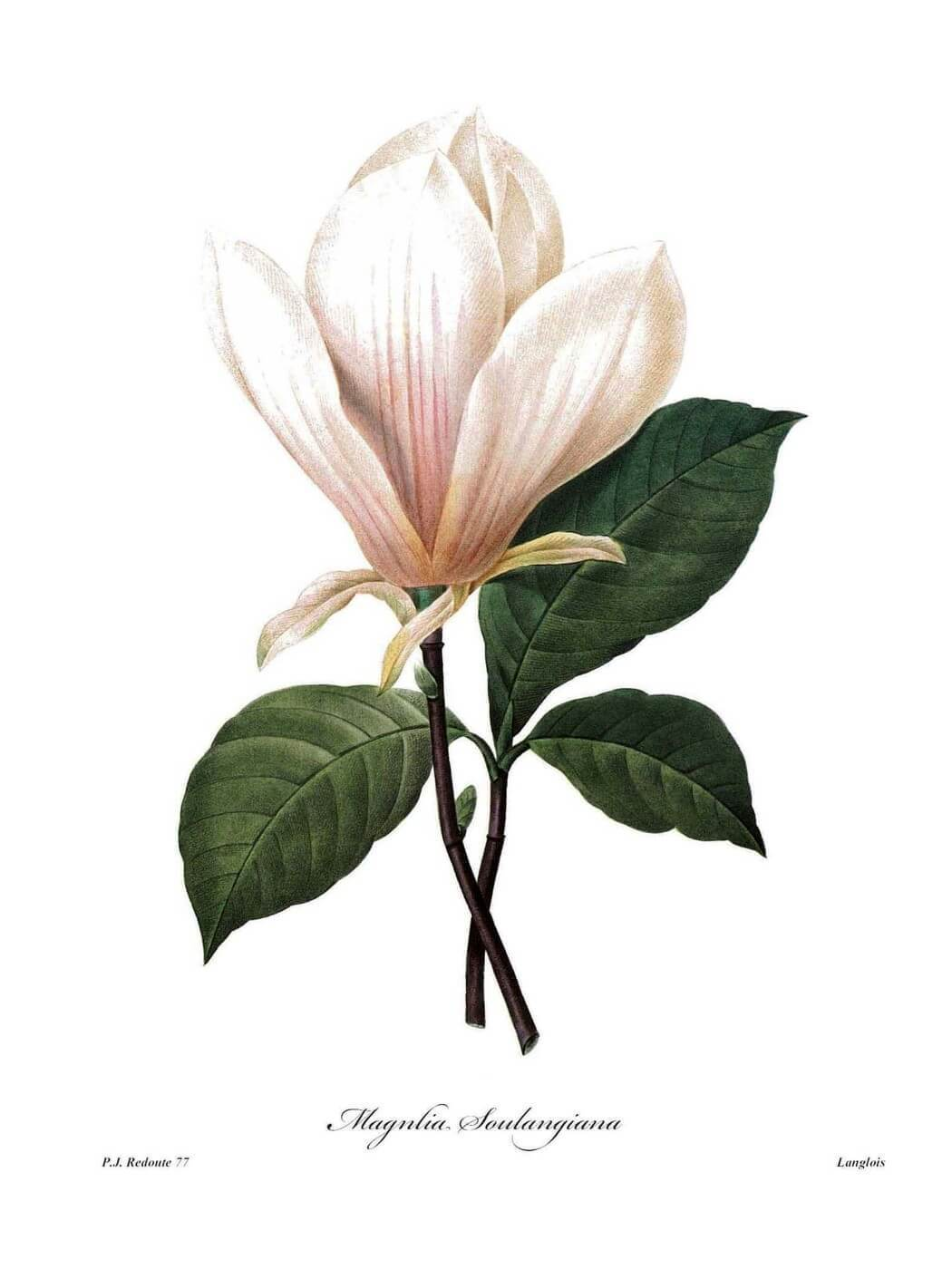 Magnolia Soulangiana - Framed Prints by Pierre-Joseph Redoute   Buy ...