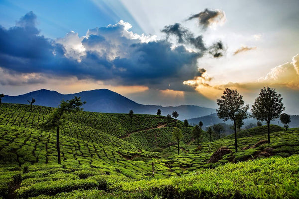 Munnar Tea Plantations - Canvas Prints