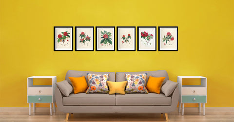 Set Of 6 Rhododendrons Roylii- Vintage Sikkim Himalaya  Botanical Illustration 1845 - Premium Quality Framed Digital Print With Matte And Glass (17 x 12 inches) each