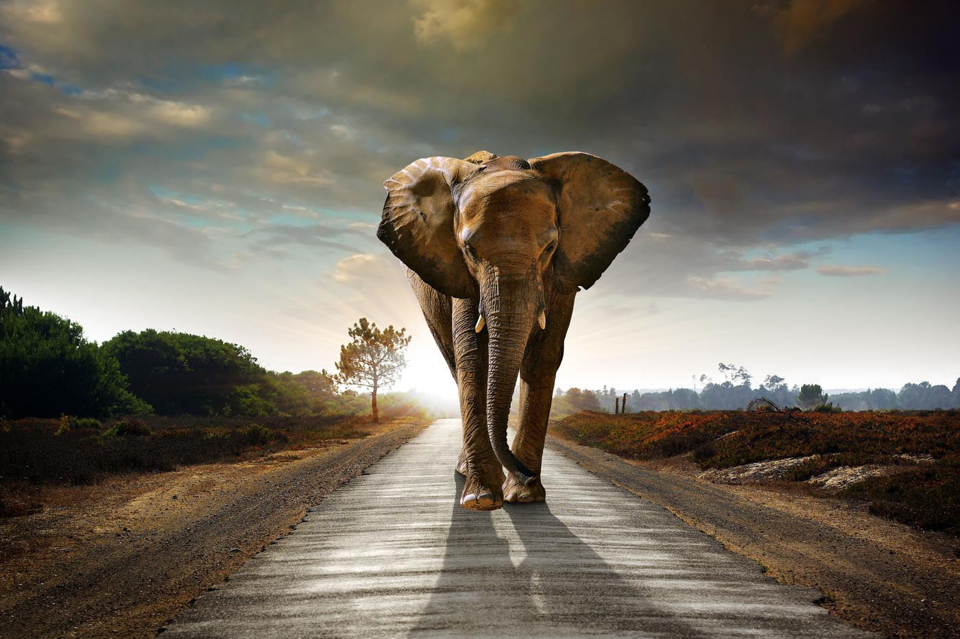 One Way Road, Print Of An African Bull Elephant - Art Prints
