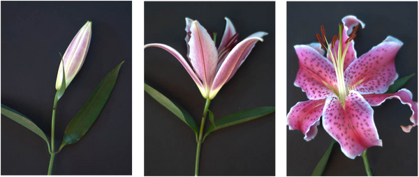 Triptych Flower Study - Art Panels