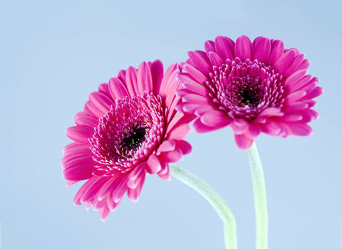 Twin Pink Flowers