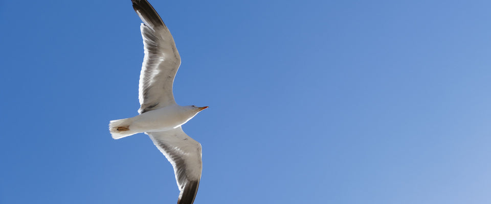 Seagull by ISourceArts | Buy Posters, Frames, Canvas  & Digital Art Prints