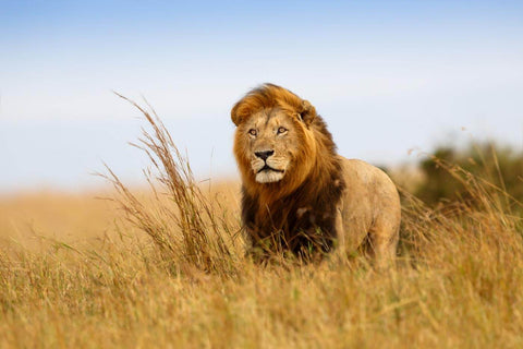 Lion In The Meadow 2