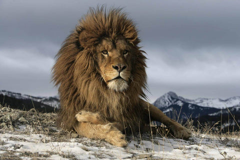 Lion Resting On A Snowy Rock