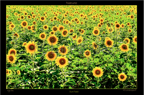 Nature, Sun Field Sunshine,  Sunflower, Flower, Yellow, Green, Happy, Bright, Bees