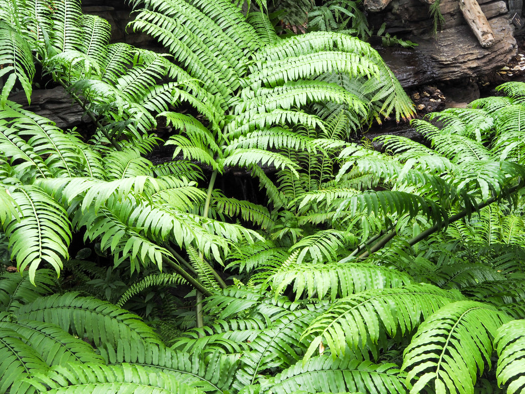 brooklyn-botanical-garden-ferns
