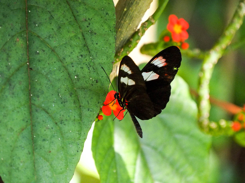 fairchild-tropical-botanic-garden-black-white-butterfly