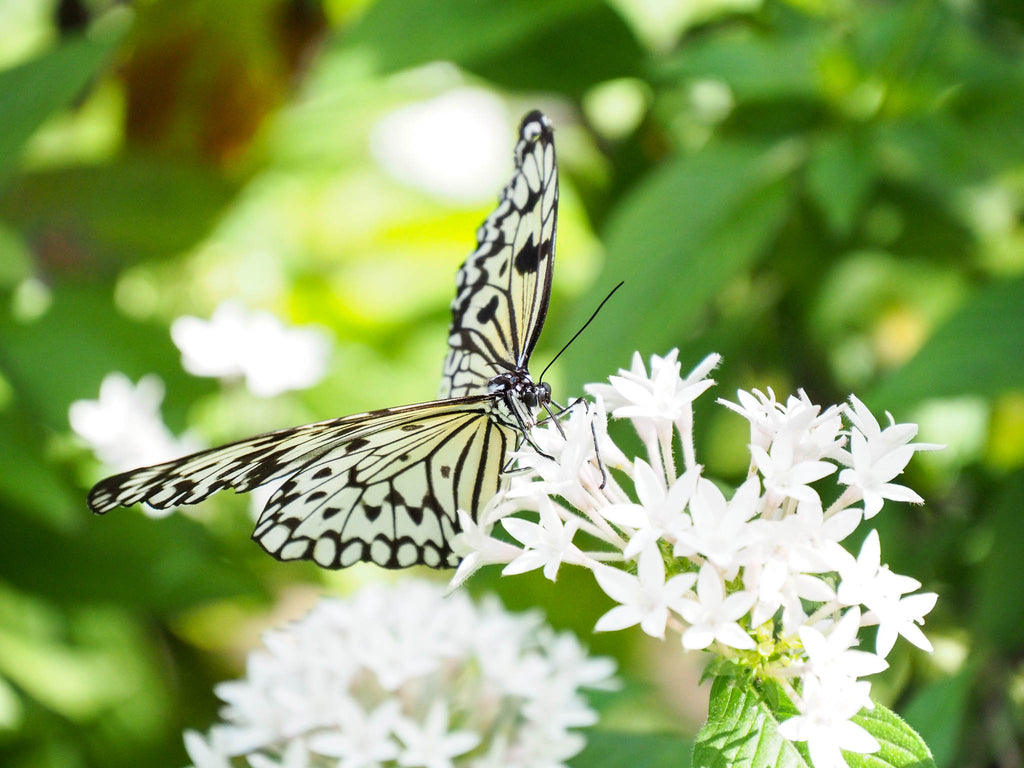 fairchild-tropical-botanic-garden-butterfly-white