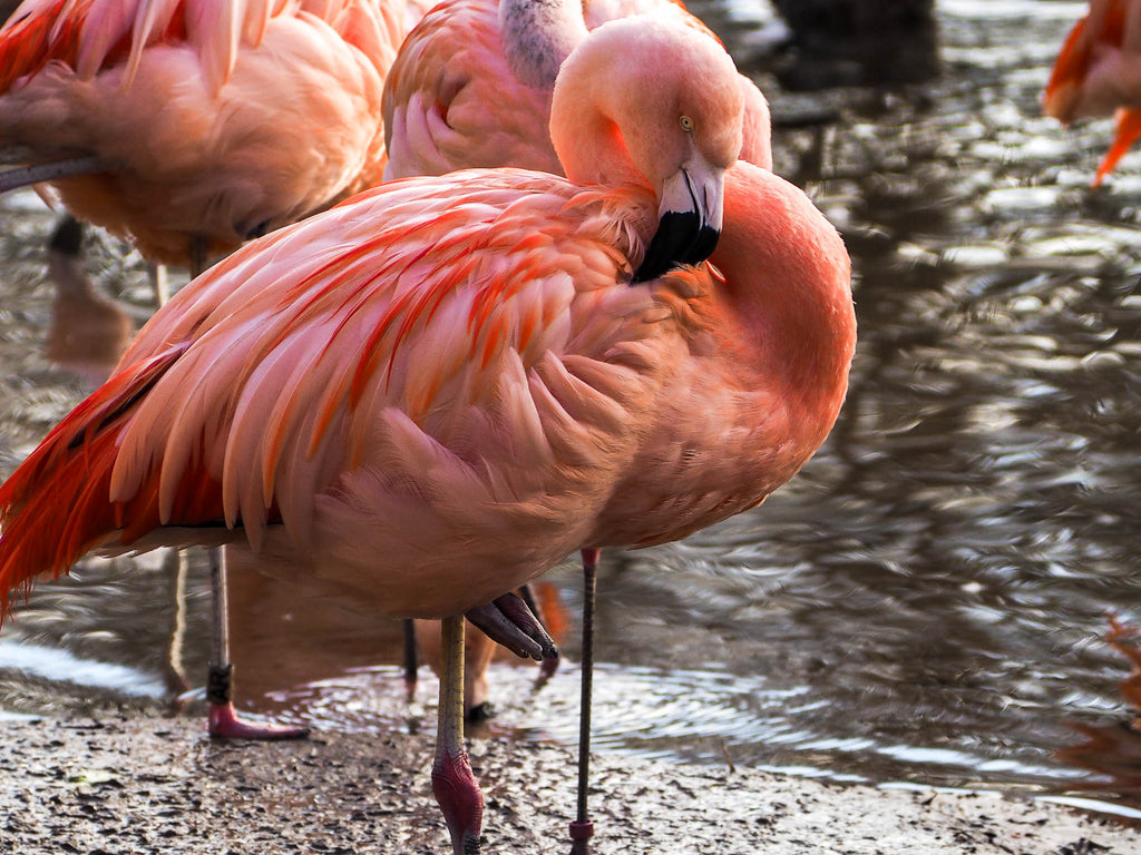 flamant-rose-jersey-zoo