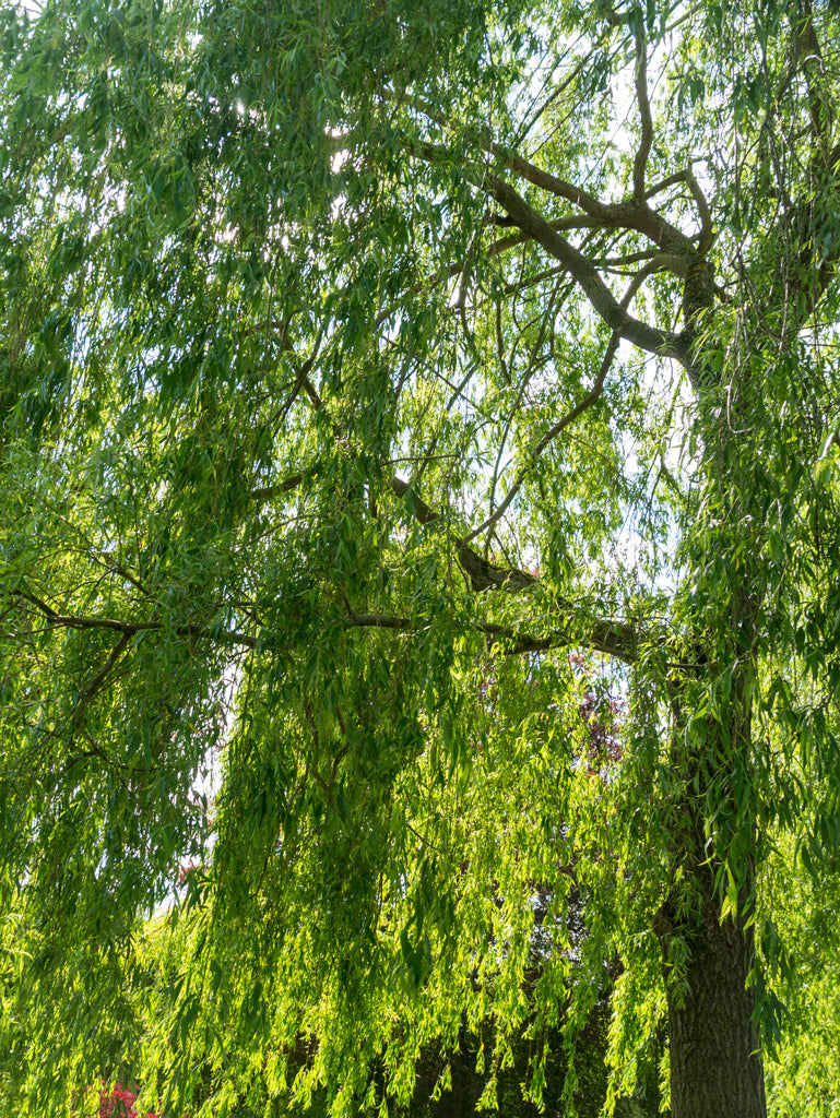 giverny-weeping-willows