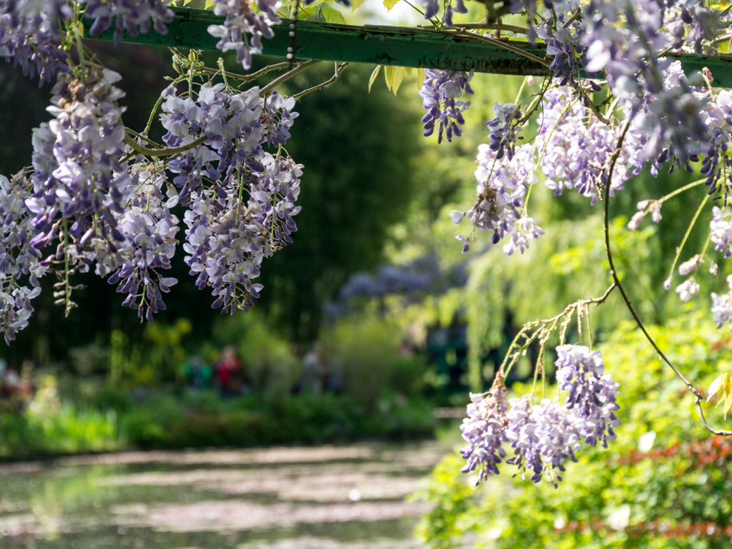 giverny-wisteria