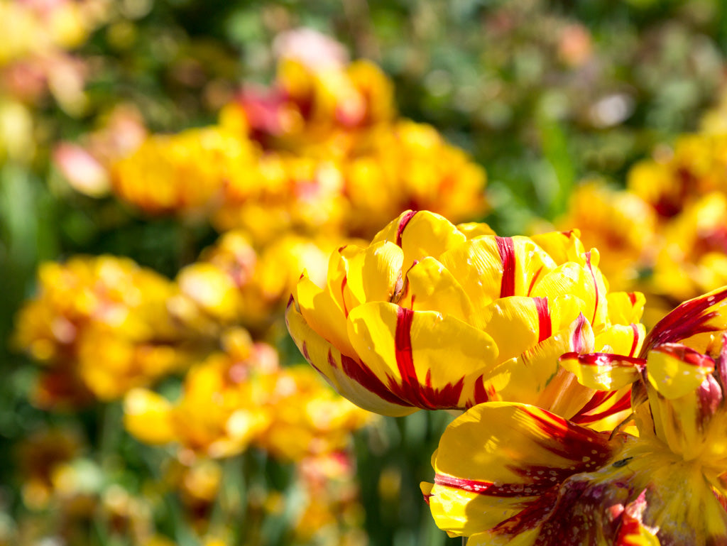 giverny-yellow-red-flowers