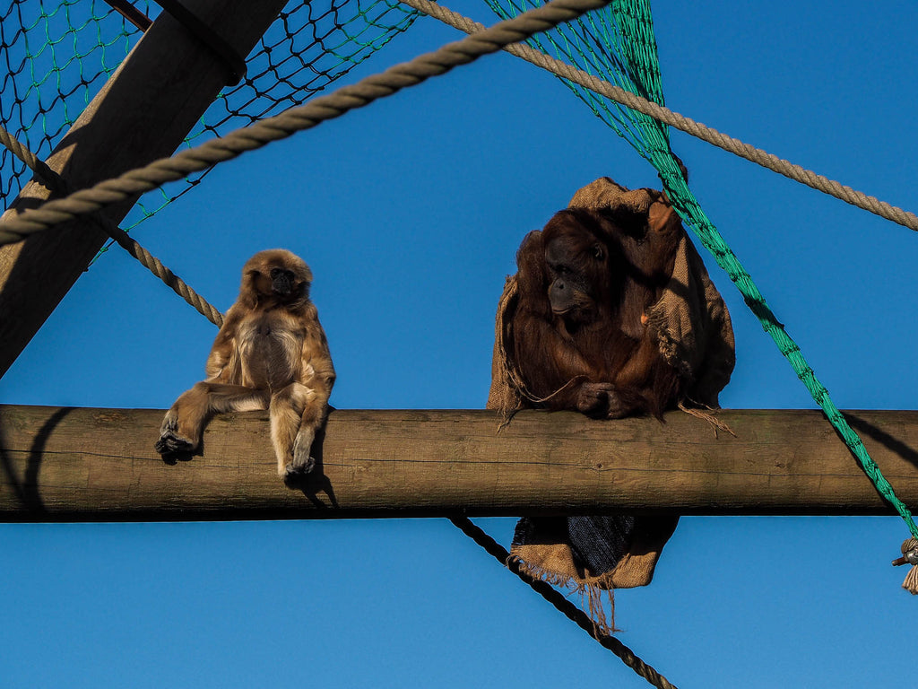 jersey-zoo-singes