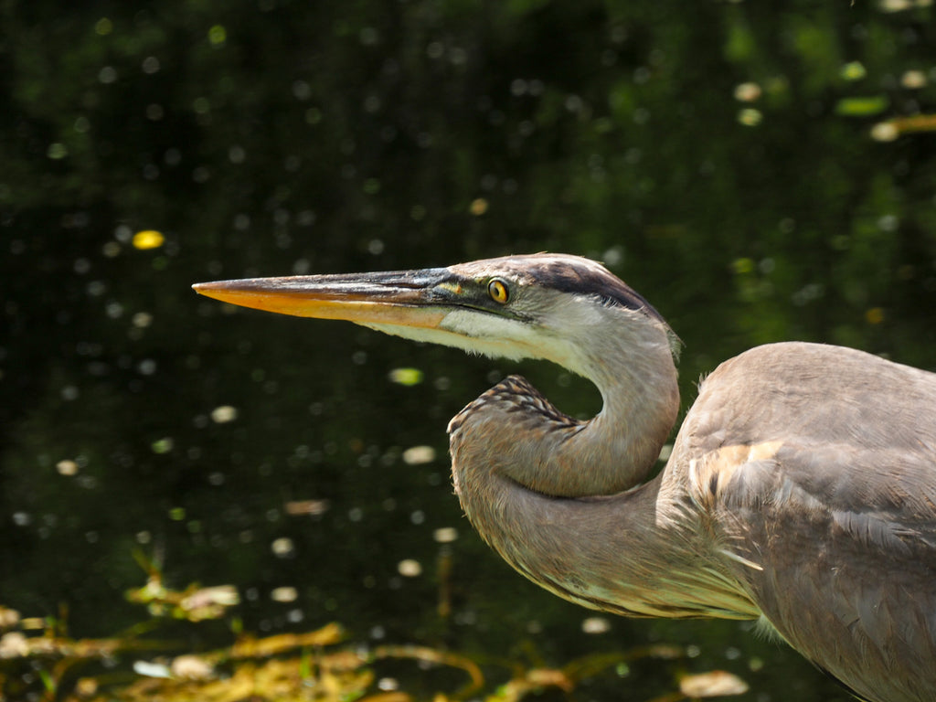 shark-valley-heron