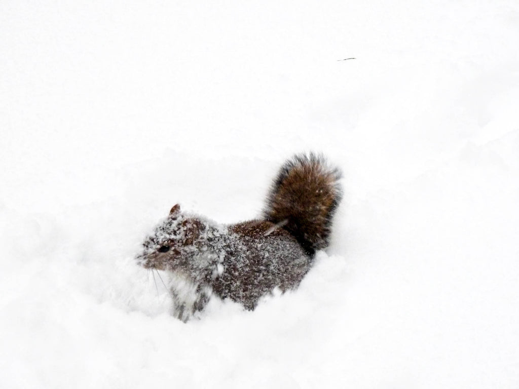 squirrel-snow-nyc