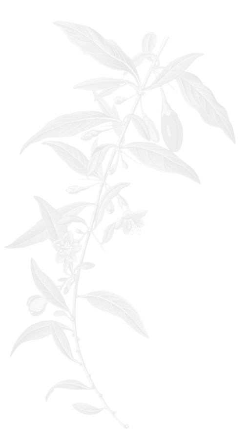 Goji Berry Illustration