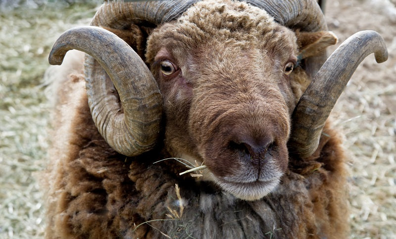 Sheep of the week: Rambouillet