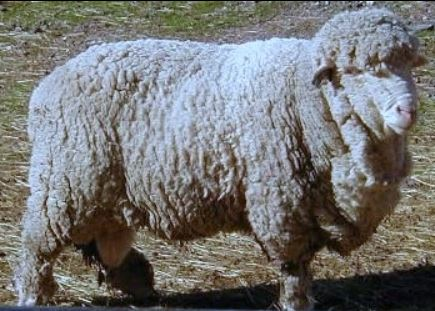 Sheep of the Week: Cormo