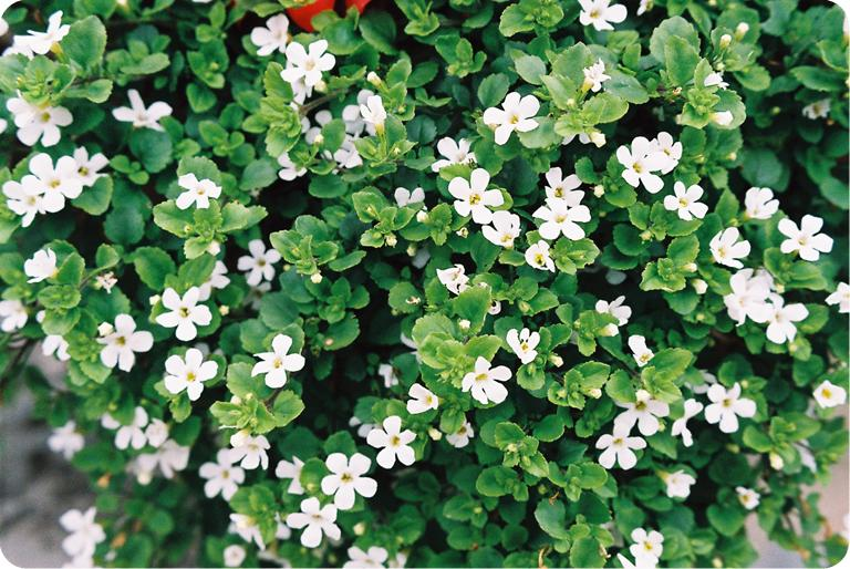 Bacopa: The Brain Boosting Herb for a Healthy Mind
