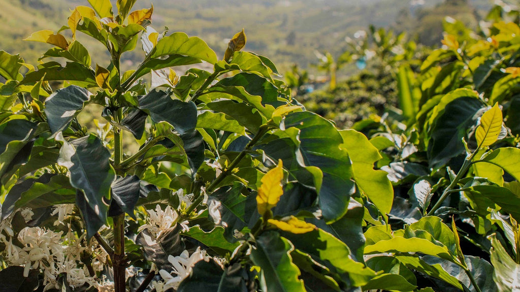 Colombia El Crucero Coffee Blossoms Mission Coffee Ana Mustafa