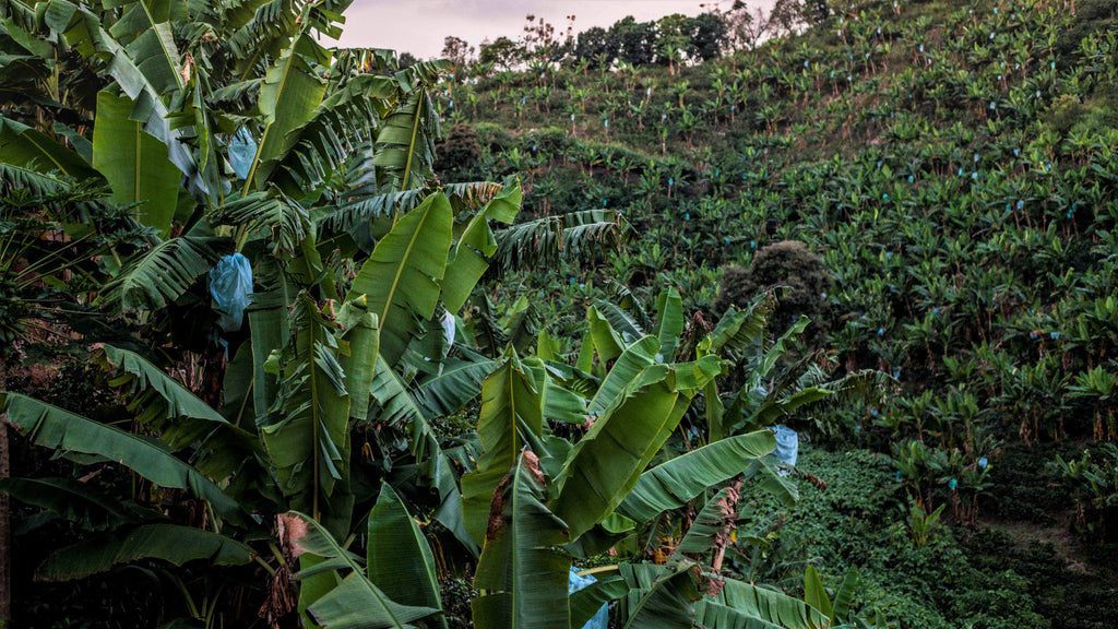 Colombia El Crucero Banana Trees Coffee Trees Shade Grown Coffee Mission Coffee Ana Mustafa