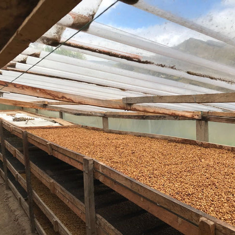 Colombia Narino Inga Aponte Solar Drier Raised Beds Coffee Cat a Cherry Fermentation