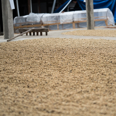 Sulawesi Toarco Tana Toraja Drying Patios Small Producer Mission Coffee Co.
