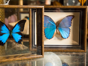 Framed Butterflies & Insects