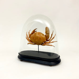 Large crab specimen in a victorian oval glass dome.