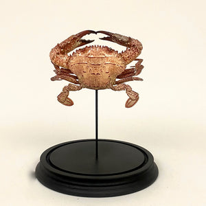 Unusual tropical crab specimen mounted in a glass dome.