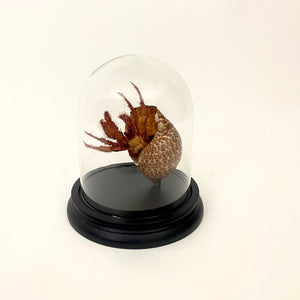large Hermit crab specimen mounted in a glass dome .
