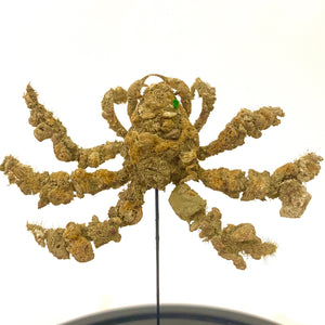 Miniature 'hairy' crab displayed in a glass dome.