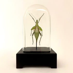 Giant jungle nymph in unusual antique glass display case.